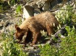 (grizzly?) bear cub by the road