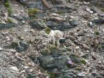 Mountain goat demonstrating balance.