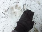Probable mountain lion track