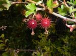Spiny berry