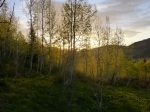 Sunrise through aspens