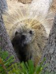 Fearless porcupine