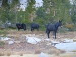 Roaming mules