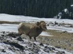 Beefy-looking ram
